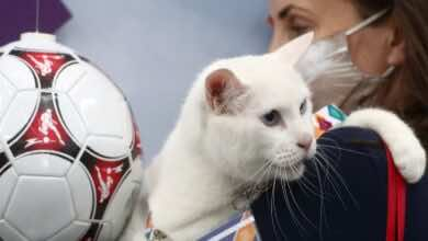 القط الروسي إخيل يتسلم بطاقة المشجع في يورو 2020